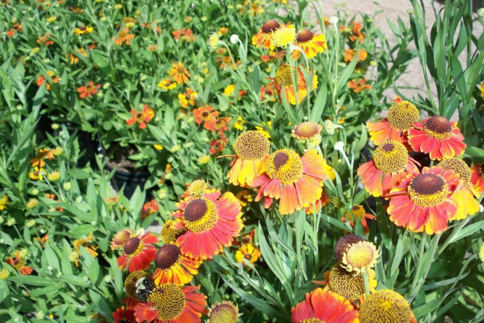 flowers gallardia