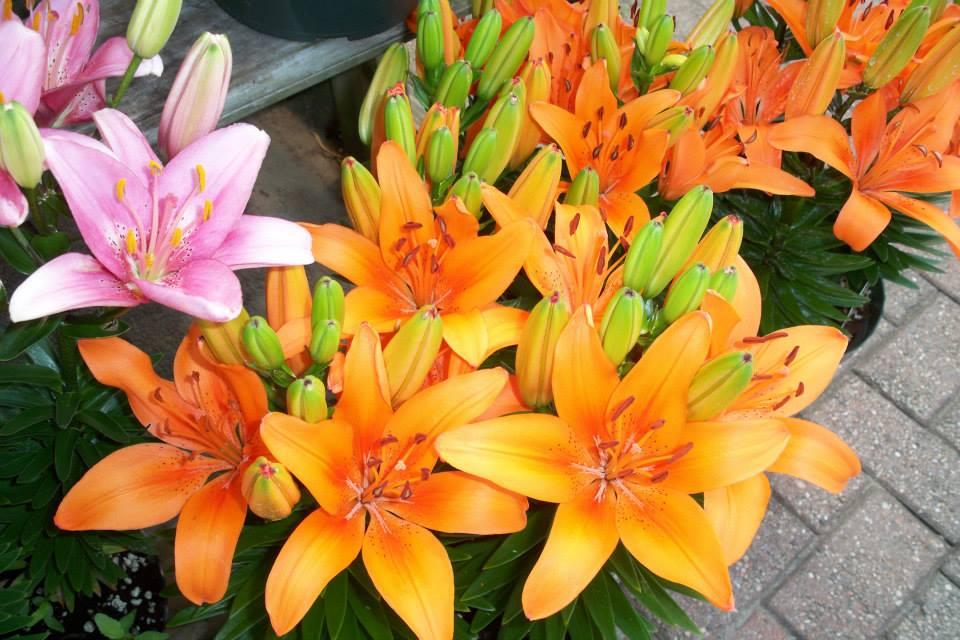 flowers lilies