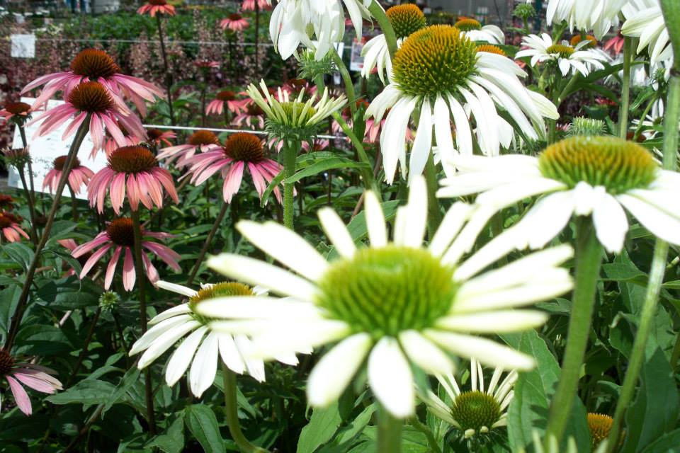 flowers white coneflower