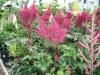 16 perennials astilbe
