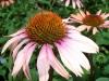 flowers coneflower